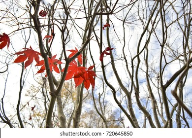Bright red Japanese maple leaves in a tree during autumn