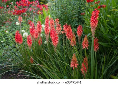 Bright red Kniphofia flowers in the hot summer border of the English country garden.