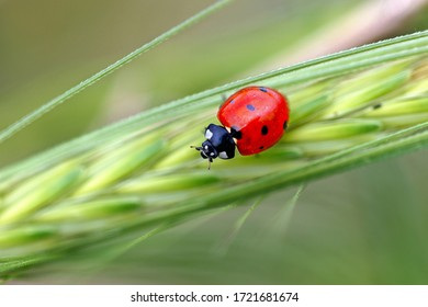 Bright red ladybug on a tender green blade of grass