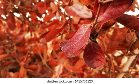Bright red leaves of a red copper beech in spring, leaves, branch, glowing edges of red leaves on red beech tree