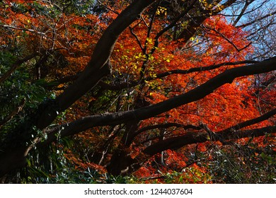 Japanese Maple Tree Images Stock Photos Vectors Shutterstock