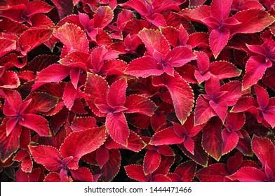 Bright red leaves of perennial plant coleus, plectranthus scutellarioides. Decorative red velvet coleus fairway plants. Background of red leaves.
