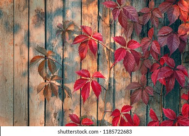 bright red leaves of wild grapes (ivy) on rustic wooden background. autumn season. background texture of leaves of wild grapes. autumn background concept