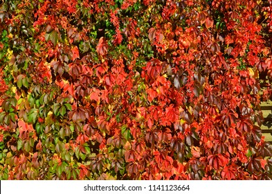Bright red leaves of wild wine (Parthenocissus) which covering a wall in autumn