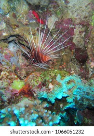 Bright red lionfish in the reefs of Ras Mohamed, Red Sea, Egypt