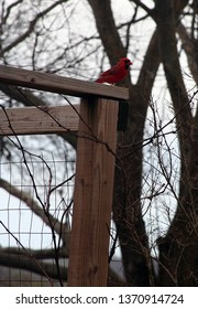 bright red male cardinal resting on a wood arbor with trees in the backgrond