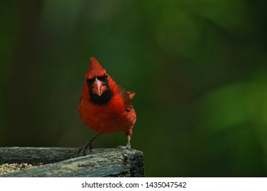Bright red male Cardinal at sunrise eating his seed breakfast.