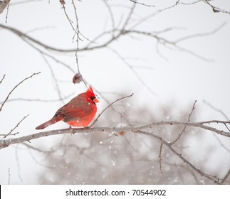 Bright red male Cardinalis cardinalis, Northern Cardinal bird sitting on a branch in heavy snow fall