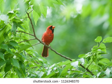 Bright red male northern cardinal (Cardinalis cardinalis) perched on a branch and framed by green leaves
