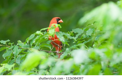 Bright red male northern cardinal (Cardinalis cardinalis) perched in a tree behind green leaves