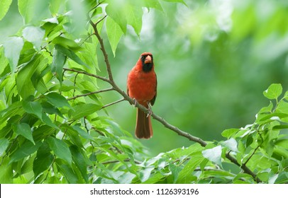 Bright red male northern cardinal (Cardinalis cardinalis) perched on a branch surround by luscious green  leaves