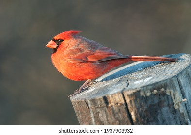 Bright red male northern cardinal perched on a tree stump