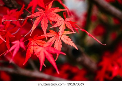 Bright red maple leaf, close up shot with selective focus