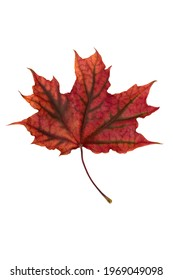 Bright red maple leaf on white background
