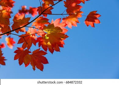 Bright red maple leaves in fall against clear blue sky.