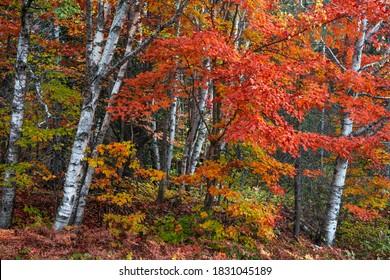 Hellrote Ahornbäume zwischen silbernen Birken im Herbst