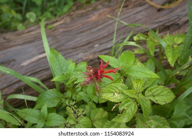 Bright red mountain wildflower macro against a blurred log background