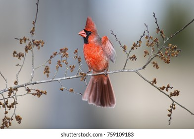 Bright Red Northern Cardinal with Left Wing Fluttering