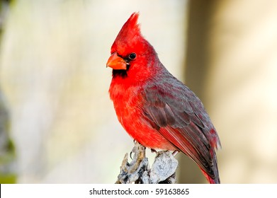 A bright red northern cardinal perched on a tree