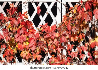 Bright red and orange grape leaves on white wooden lattice grid fence, autumn golden climber plant foliage, fall sunny day nature image, Parthenocissus or Virginia creeper branches decorative design