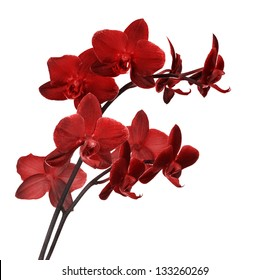 bright red orchid flowers isolated on white background
