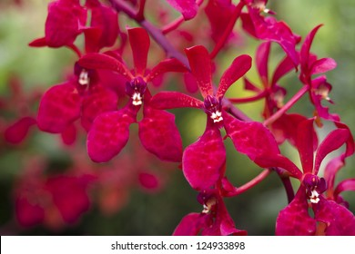 bright red orchids from National Orchid Garden of Singapore; focus on front flower