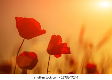 Bright red poppies in a field at sunset.