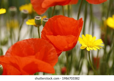Bright red Poppies and yellow camomille in the courtyard