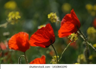 Bright red poppies in a yellow fower field