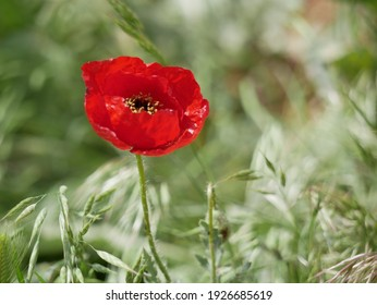 Bright red poppy flower against the green ears on a sunny spring day. Growing raw materials for confectionery.