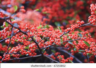 Bright red pyracantha berries