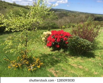 Bright red rhododendrons and tree on a grassy garden over looking the Welsh hills in Carmarthenshire, Wales