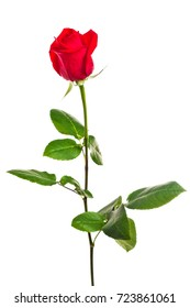 Bright red rose flower isolated on white background for decoration and design of the designer, floristry