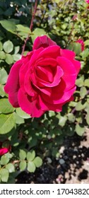 Bright red rose in full bloom