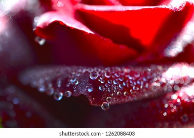 Bright red rose with morning dew drops on it, shot with Macro lens in natural lighting. Morning sunrise rose close up, macro dew drops, stunning lush colors.