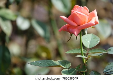bright red rose in sunlight, splendid color and gorgeous shape