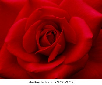 Bright Red Rose for Valentine's Day