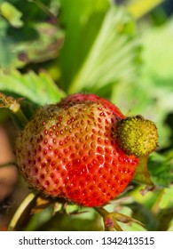 bright red strawberry in the garden on a green background and sunlight