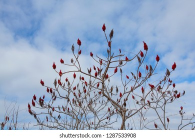 bright red sumac plant seeds in the winter at a wisconsin park