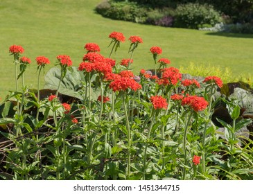 Bright Red Summer Flowering Jerusalem or Maltese Cross Flower (Lychnis chalcedonica) in a Herbaceous Border in a Country Cottage Garden in Rural Devon, England, UK