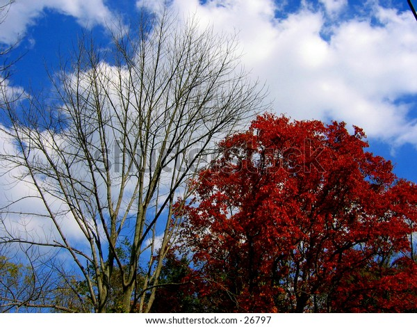 A bright red tree sitting next to a tree that has already lost all of it's leaves in the fall.
