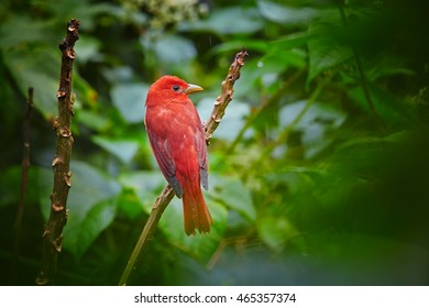 Bright red tropical bird, isolated Summer Tanager, Piranga rubra perched on twig against dark green rainforest in background.Tobago Main Ridge nature reserve. Trinidad and Tobago.