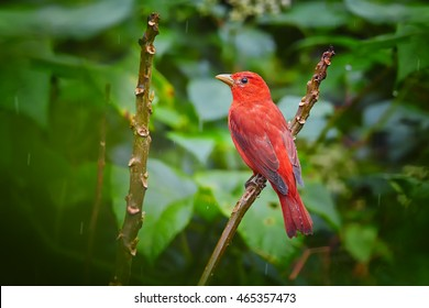 Bright red tropical bird, isolated Summer Tanager, Piranga rubra perched on twig against dark green rainforest leaves in background.Tobago Main Ridge nature reserve. Trinidad and Tobago.