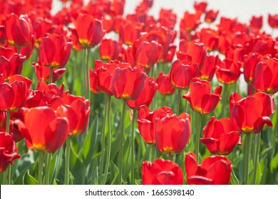 """Bright red tulips of the """"Triumph"""" series on a spring flower bed under the bright sun"""