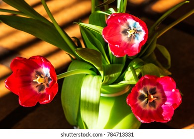 Bright red tulips (Tulipa) in a green vase and lit by window light.