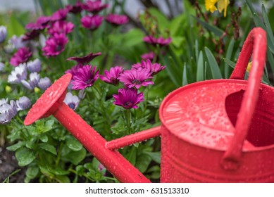 Bright red watering can with raindrops in front of colorful purple spring flowers - soft focus