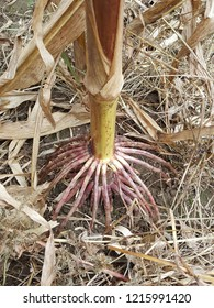 Bright red and white exposed roots of a corn stalk that looks like a spider.