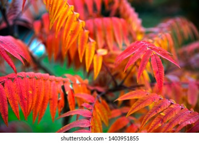 Bright red, yellow and orange autumn leaves, sumac plant background.