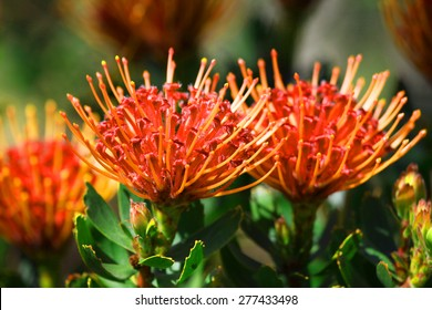 bright red and yellow protea flowers on plant with leaves in background
