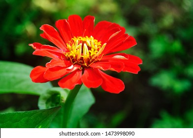 Bright red zinnia flowers in the garden.